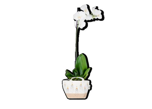 Princess-Orchid