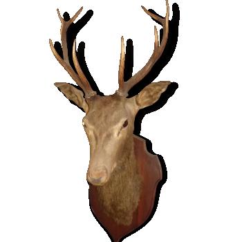 Trophée de chasse tete de cerf